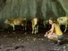 Krávy v portálu